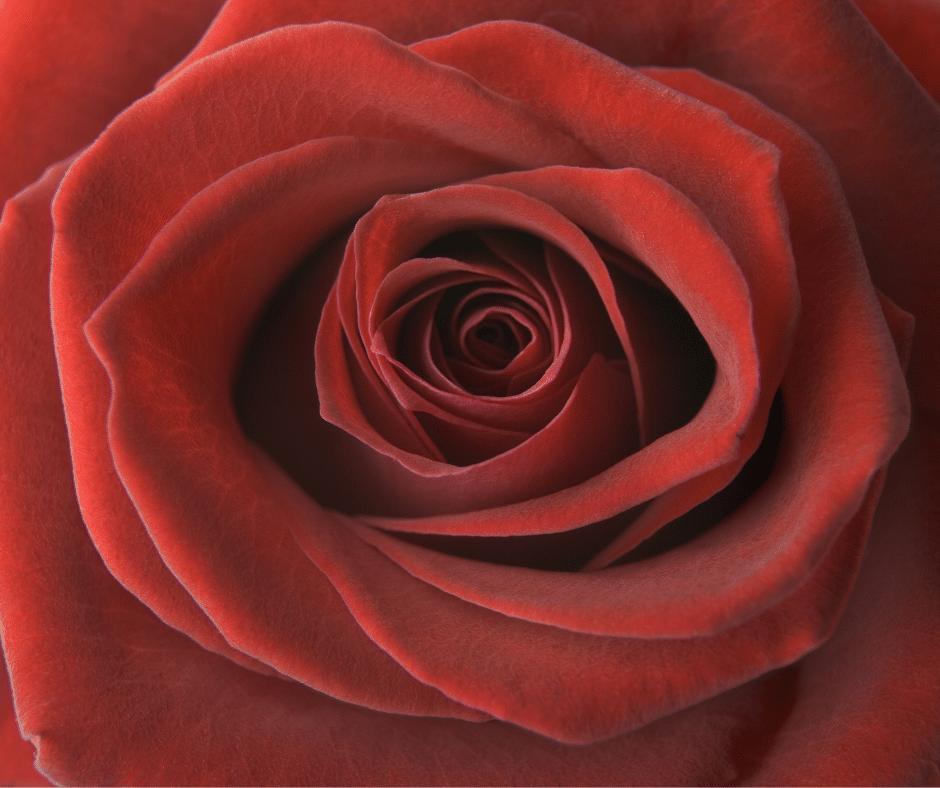 Yoni steam rose